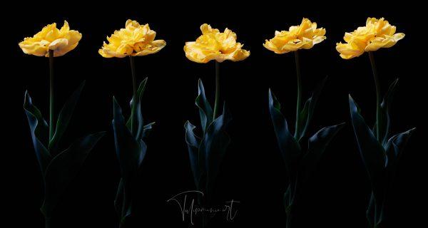 Yellow Pomponette